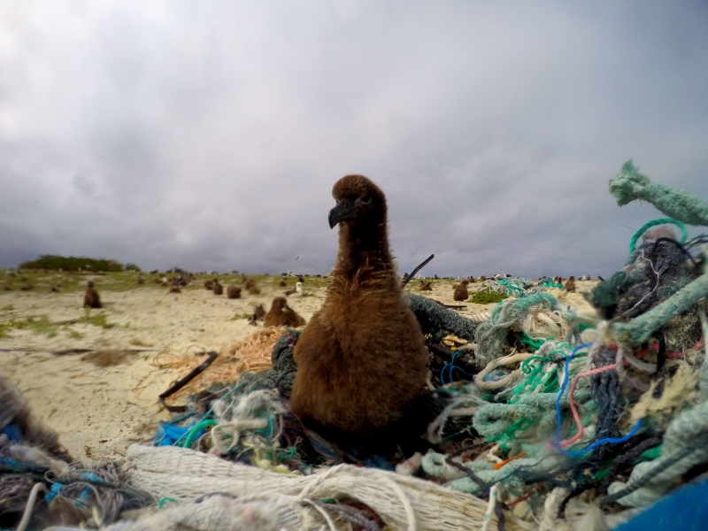 A Laysan Albatross chick rests on a pile of derelict fishing net at Eastern Island, Midway Atoll.