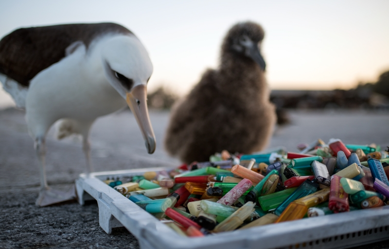 An adult albatross and chick looking at a pile of plastic cigarette lighters.
