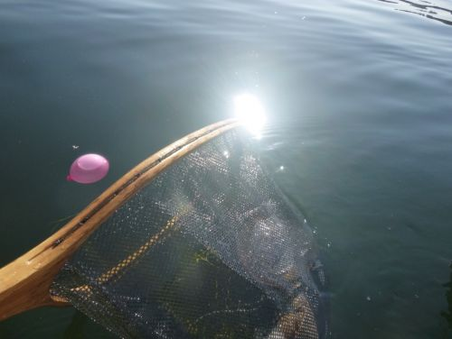 A wooden landing net is being dipped into the water to collect a small, pink ballon.