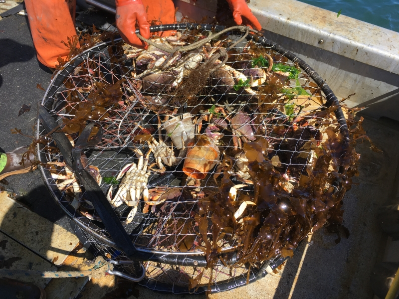 A round crab pot holds collected crabs and seaweed.