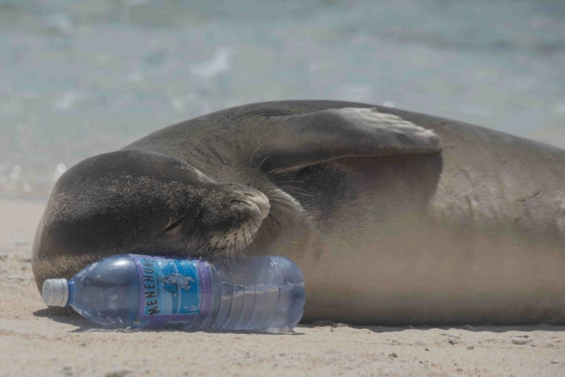 Monk seal rests its head on plastic water bottle.