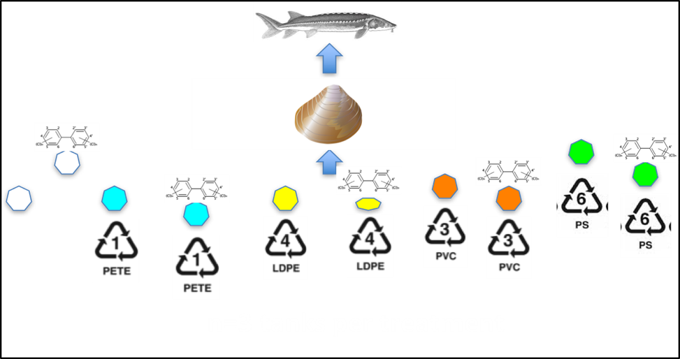 Figure showing various experimental groups fed to clams, which are then fed to sturgeon.