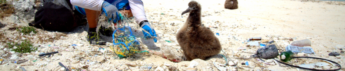 Albatross chick in the sand by debris