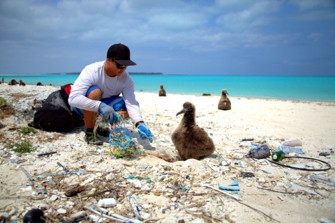 The marine debris team removes pieces of derelict gear where a juvenile laysan albatross is nesting.