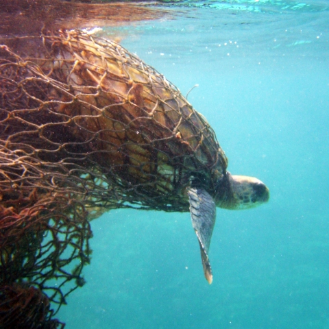 A green sea turtle is entangled in a derelict net.