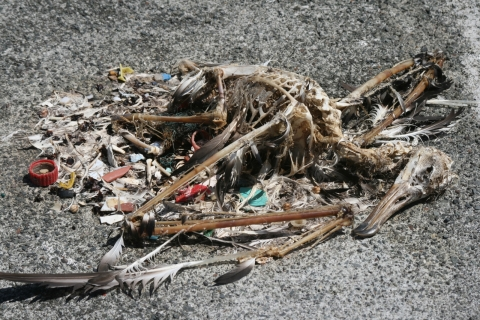 A bird skeleton with plastic pieces.