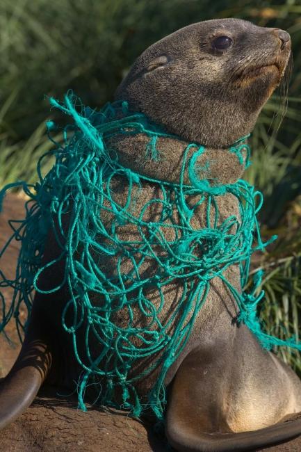 A sea lion tangled in rope.