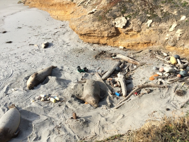 Three juvenile elephant seals hang out on top of marine debris on a beach.