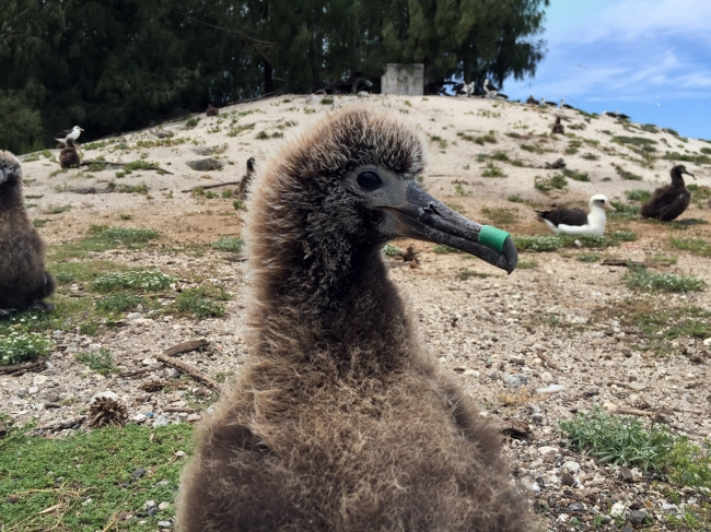 A laysan albatross chick with an oyster spacer tube stuck on its beak.