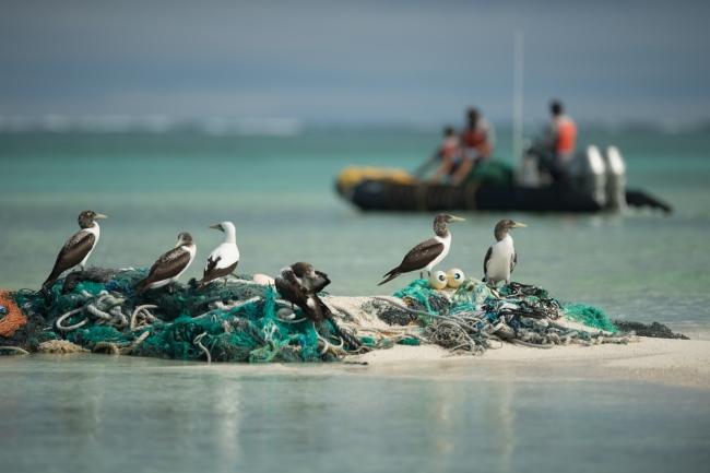 Brown and masked boobys on a derelict fishing net with the marine debris team in a boat in the background.