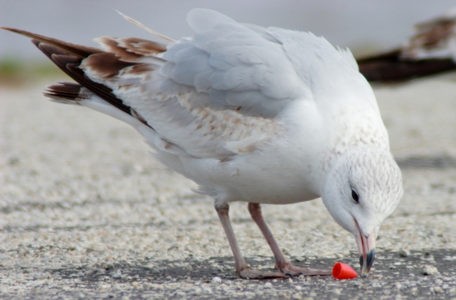 A gull pecks at a plastic piece.