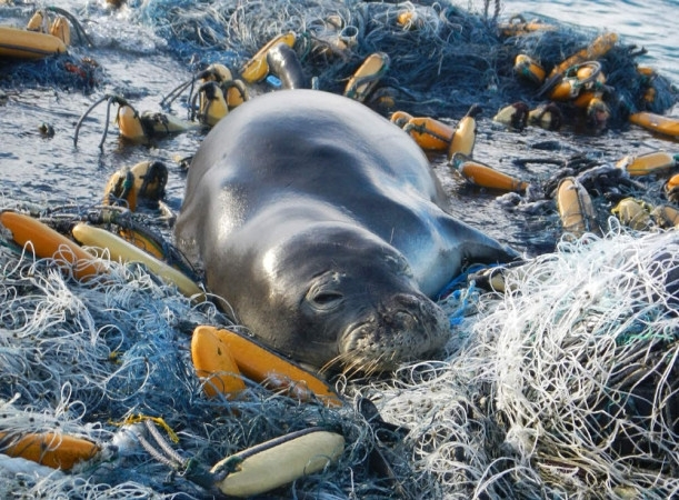 Marine debris throughout the ocean puts endangered species like this Hawaiian monk seal at risk.