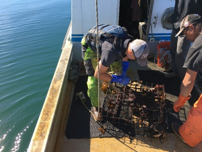 Two men work to remove the contents of a collected derelict crab trap.
