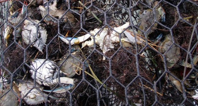 A derelict crab pot shows the dangers of ghost fishing, having captured and killed many crabs.