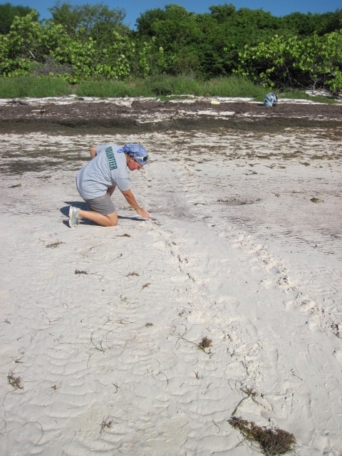 A volunteer points out the tracks of a nesting female loggerhead sea turtle.