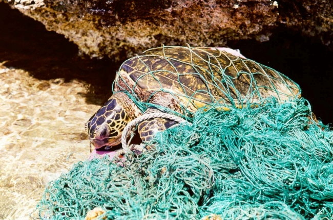 Turtle entangled in derelict fishing net.