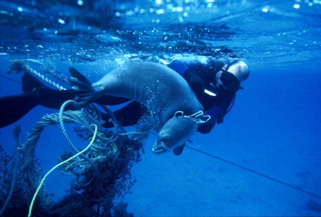 A seal being released from entanglement in derelict rope by a diver.