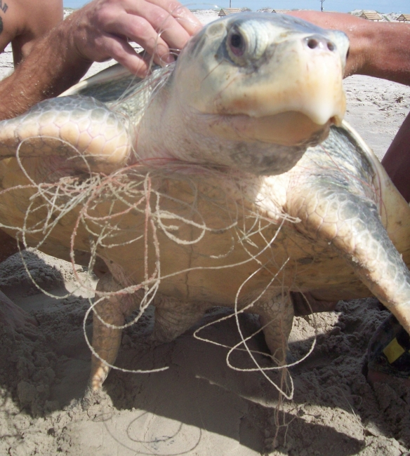 A sea turtle tangled in fishing line.
