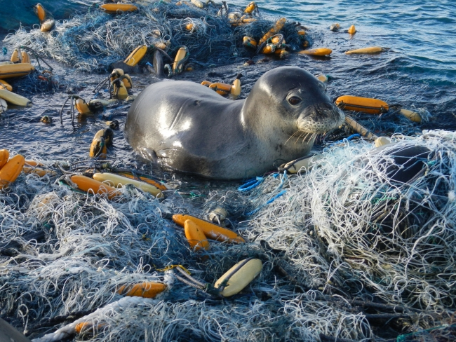 A Hawaiian monk seal rests on top of derelict fishing gear.