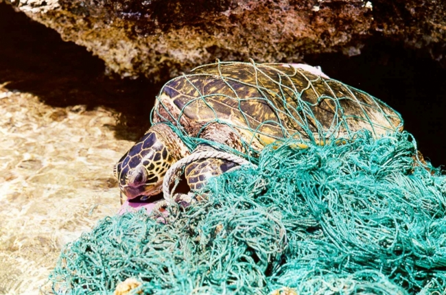 A sea turtle is entangled in a large, green fishing net.