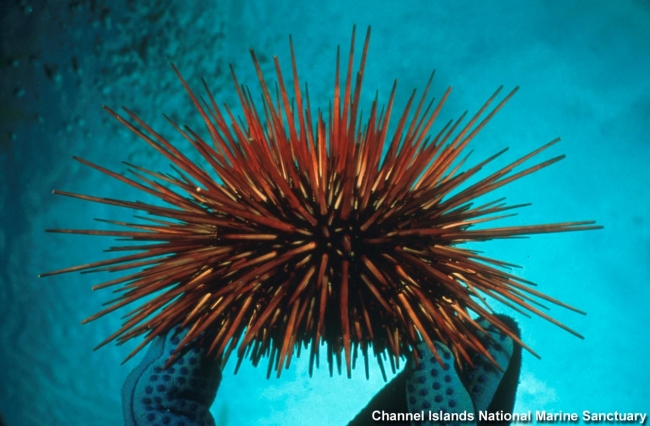 A gloved hand holds up a red urchin underwater.