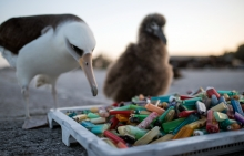 An adult albatross and chick looking at a pile of plastic lighters.