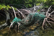 Fishing net tangled in mangrove roots.