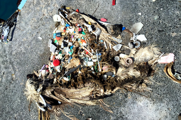 The plastic stomach contents of a Laysan Albatross.